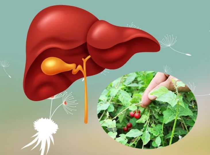 Thảo dược này có công dụng cực tốt trong điều trị các bệnh về gan