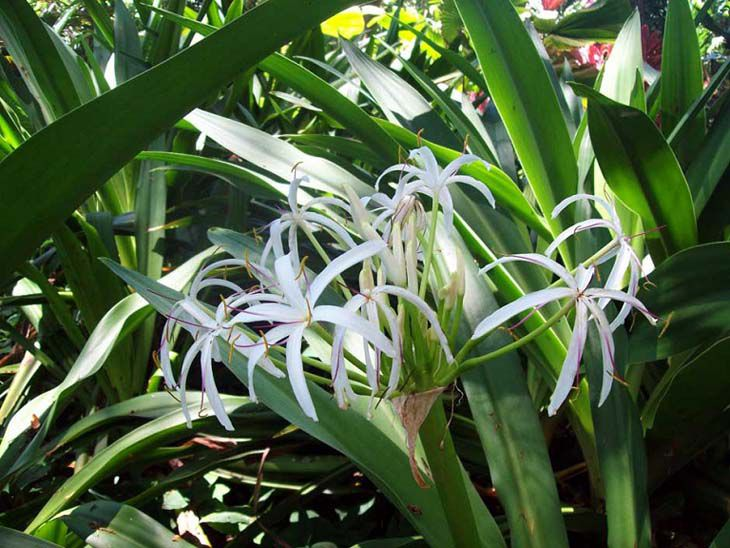Cây náng hoa trắng có lá dày, xanh đậm hơn trinh nữ hoàng cung