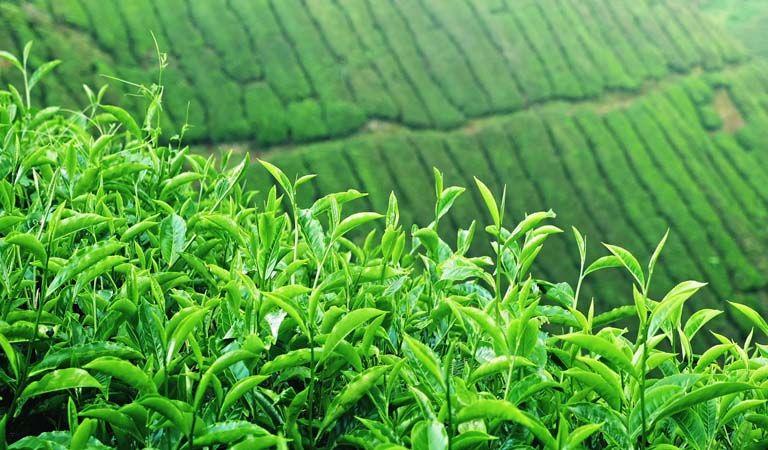 Trong chè xanh có hoạt chất chữa mề đay rất hiệu quả và an toàn
