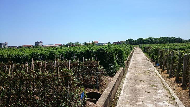 Vườn dược liệu theo tiêu chuẩn GACP - WHO của Trung tâm Đông y Việt Nam