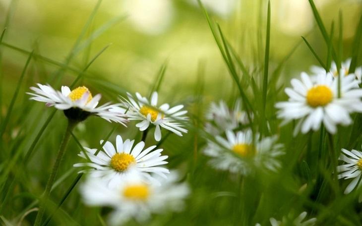 Dùng hoa cúc dại chữa vảy nến hiệu quả