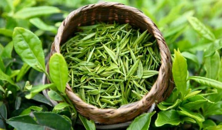 Đun nước lá trà xanh ngâm trị chàm an toàn