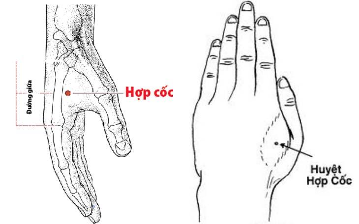 Huyệt hợp cốc nằm ở phần cơ cao nhất giữa ngón trỏ và ngón cái