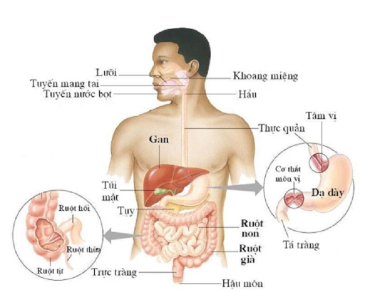 Hệ thống tam tiêu của cơ thể người