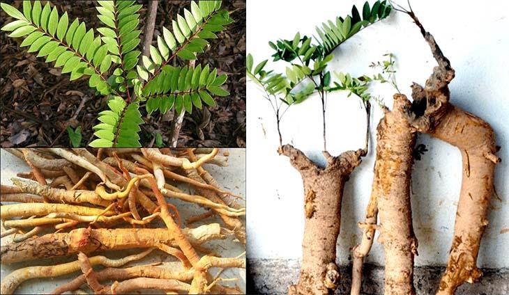 Cách chữa bệnh rối loạn cương dương tại nhà từ rễ cây mật nhân rất đơn giản