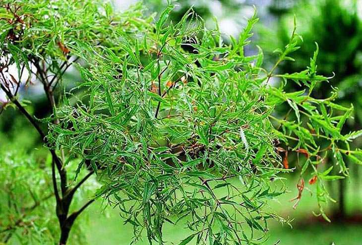 Rễ đinh lăng là vị thuốc được dân gian đánh giá cao