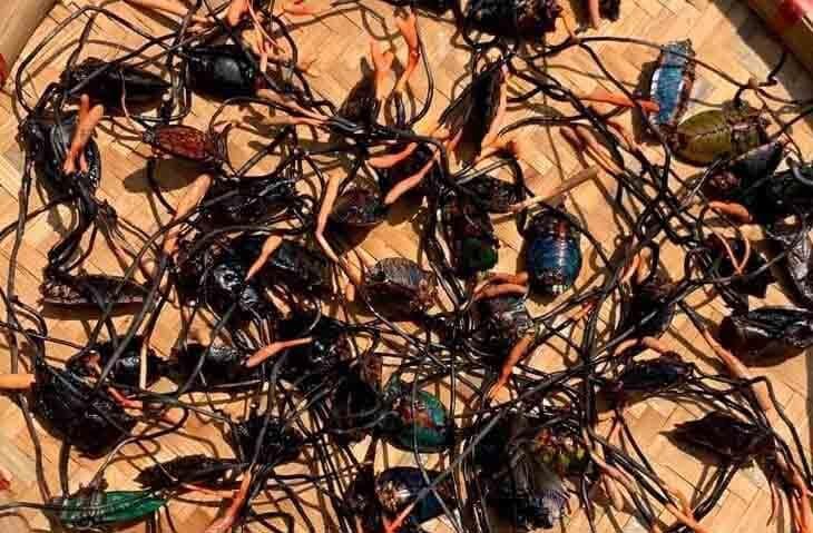 Rất nhiều dược chất quý được tìm thấy trong đông trùng bọ xít