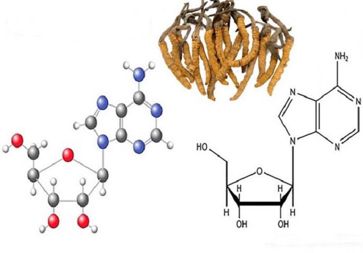 Hàm lượng cordycepin trong đông trùng hạ thảo có sự khác biệt giữa loại tự nhiên và loại nuôi cấy