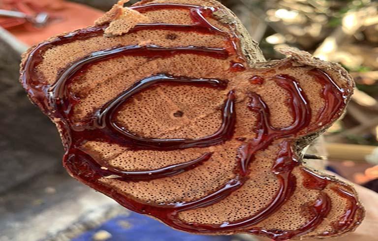 Cây thuốc kê huyết đằng 60 năm tuổi được sử dụng trong bài thuốc Quốc dược Phục cốt khang