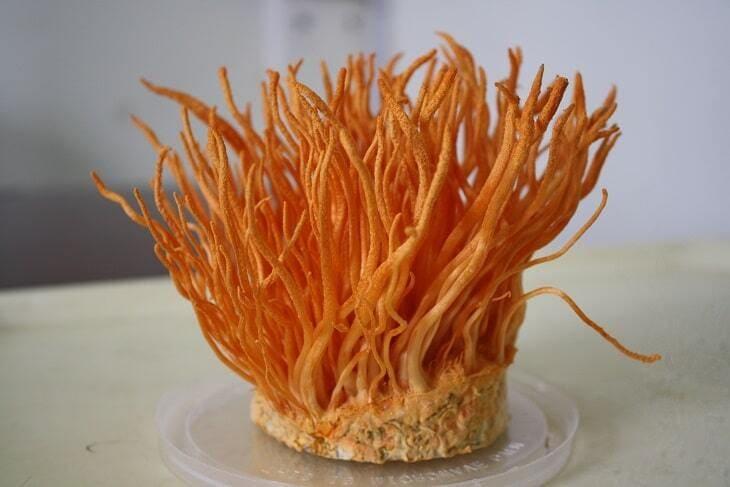 Đông trùng hạ thảo Đà Lạt được nuôi cấy tiêu chuẩn, hàm lượng dưỡng chất cao