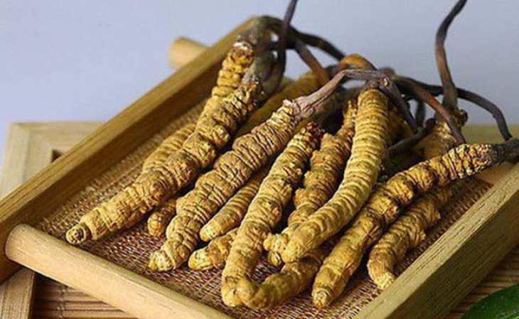 Con đông trùng tự nhiên là nấm ký sinh trên cá thể sâu bướm