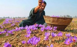 """Cận cảnh quá trình thu hoạch Saffron Tây Ban Nha - thứ gia vị đắt nhất thế giới được mệnh danh """"vàng đỏ"""" có giá hàng tỷ đồng/kg"""