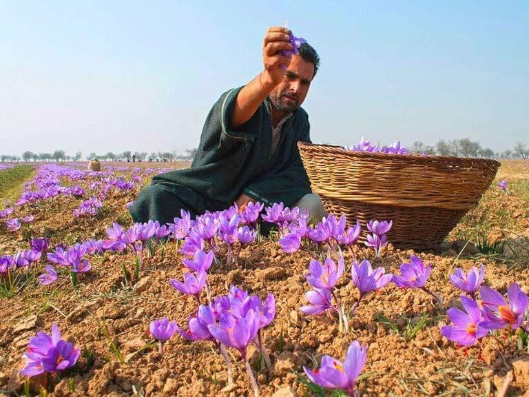 Quá trình thu hoạch Saffron hoàn toàn thủ công vào thời điểm sáng sớm