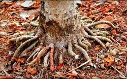 Rễ cau là một dược liệu được dùng phổ biến trong các bài thuốc chữa yếu sinh lý