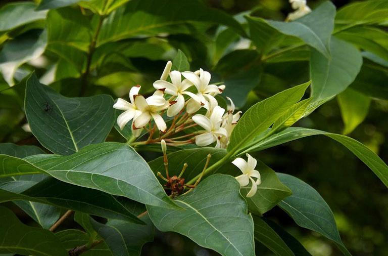 Cây mộc hoa trắng cũng là vị thuốc dân gian chữa viêm đại tràng hiệu quả